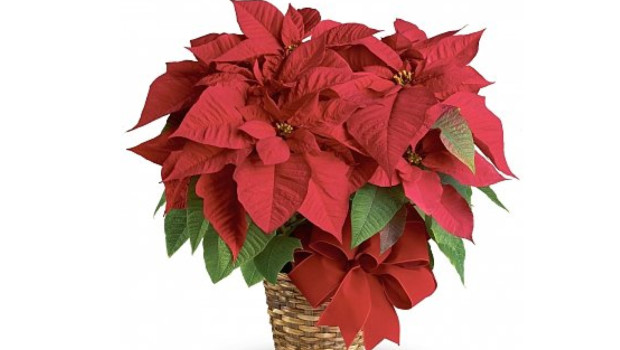 Realtor Christmas Gift Idea - Stunning Red Poinsettia