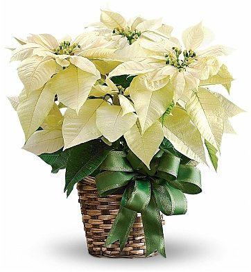 White Poinsettia Realtor Christmas Gifts