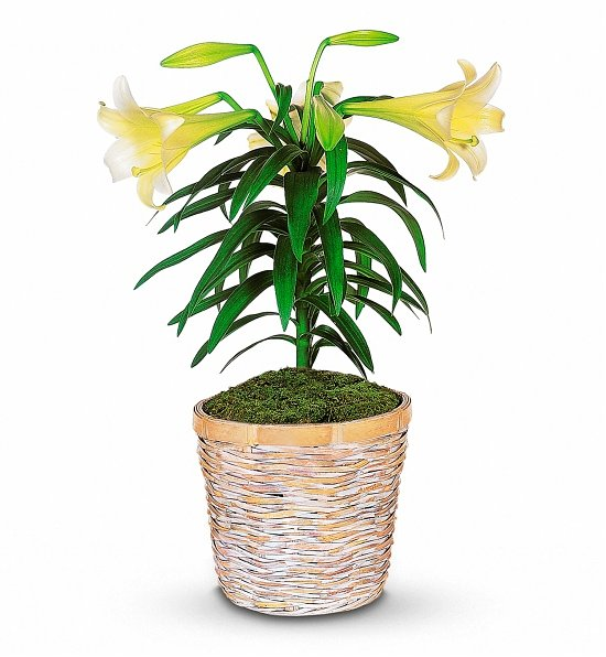 White Easter Lily Potted Plant, Easter Gifts