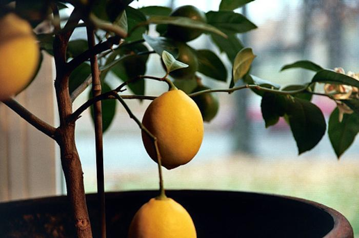 meyer lemon tree gift set, Realtor Closing Gift Ideas Over $100.00