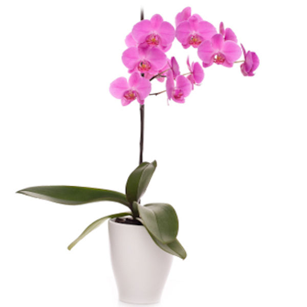 Pink Orchid Plant Realtor Closing Housewarming Gift Delivered to China